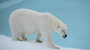 Опасный хищник белый медведь