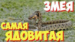 Ядовитые змеи - какие они бывают