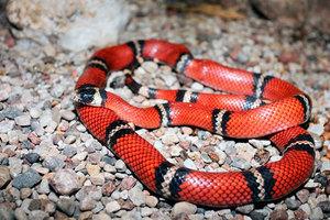 Коралловый аспид - особенности змеи
