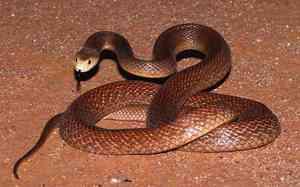 Змея тайпан - фото самой ядовитой змеи в мире