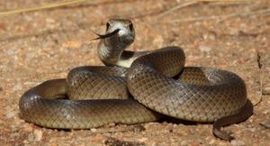 Восточная коричневая змея - фото