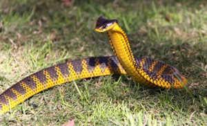 Как выглядит тигровая змея