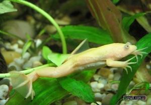Как выглядят шпорцевые лягушки