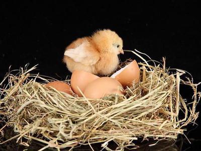 Сколько дней курица высиживает яйца до цыплёнка