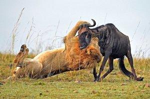 Охота на антилопу