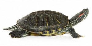 Сколько живут черепахи