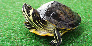 Как определить, сколько лет черепахе