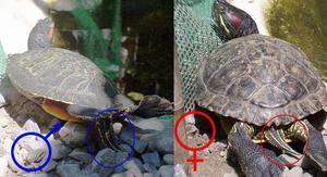 Сколько живу красноухие черепахи