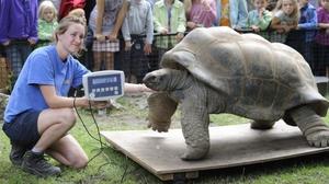 Взвешивание слоновой черепахи в заповеднике