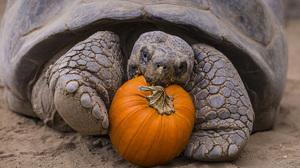 Слоновая черепаха и тыква фото