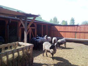 Питание романовских овец