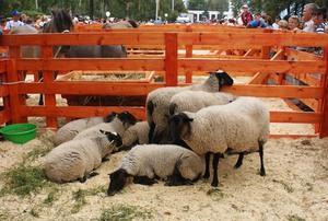 Чем кормить романовских овец