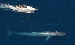 Животное великан - синий кит