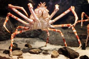 Японский краб-паук - самый большой краб
