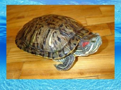 Сухопутная черепаха в качестве домашнего питомца