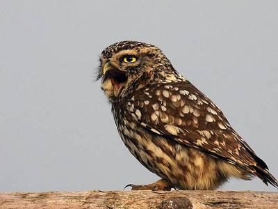 Сыч: как выглядит птица с жалобным криком