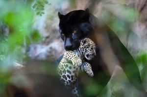 Чем питается ягуар