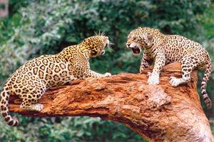 Описание животного ягуар