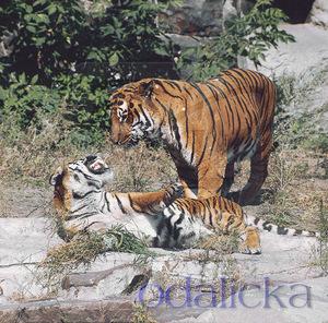 Туранский тигры и их брачные игры