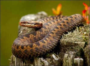 Насколько опасен укус гадюки и что делать, если вас укусила змея?