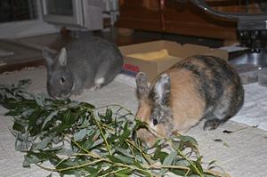 Два кролики едят грызут ветки