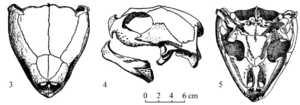 Черепаха Dermochelys coriacea - скелет