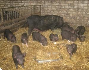 Свиньи и поросята в свинарнике