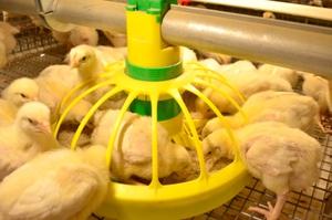 Какие витамины давать цыплят
