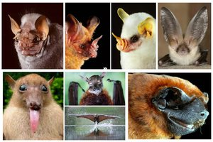 Основные виды летучих мышей