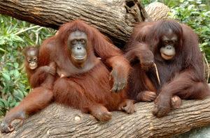 Виды обезьян