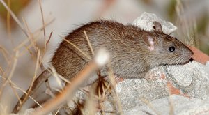 Как бороться с крысами