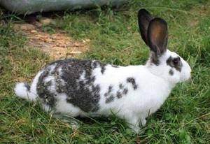 Красивые кролики декоративные - порода бабочка