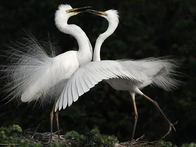 Все о белой цапле: какая она, эта грациозная птица?