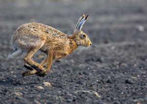 Заяц более крупный, сильный и быстрый, чем кролик