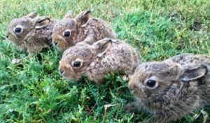 Зайчата рождаются уже приспособленными к жизни