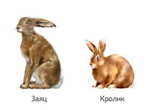 Кролики и зайцы отличны настолько, что их невозможно скрестить