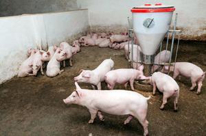 Как содержат свинью породы ландрас