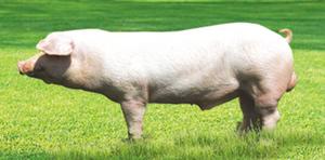 Свинья на лугу