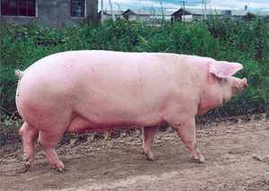 Как содержать свинью