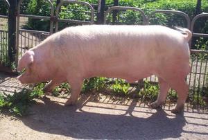 Свинья во дворе