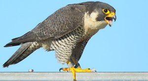 Птица из семейства соколиных-Сапсан