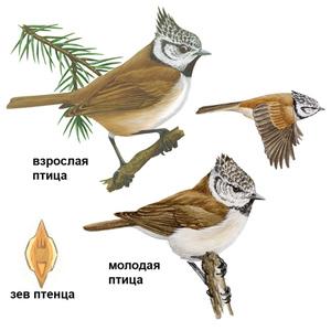 Птица синица - как она выглядит