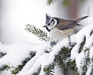 Хохлатая синица гренадер - как живет в зимнее время