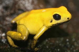 Желтая лягушка является самой ядовитой на планете
