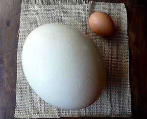 Размер яйца страуса