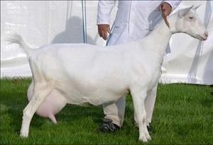 Порода коз-зааненская