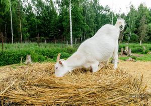 Сено для коз
