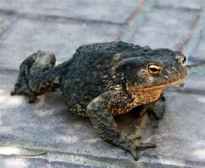 Передвижение жабы