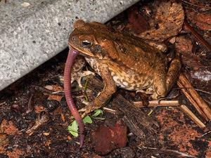 Питание жабы