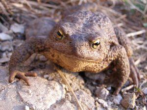 Апрельская жаба